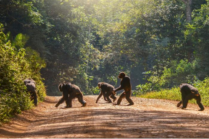 Африканските човекоподобни маймуни ще претърпят огромна загуба на територии през следващите 30 години