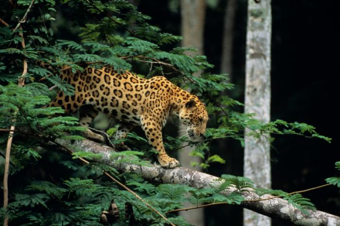 Някои амазонски ягуари прекарват месеци по дърветата