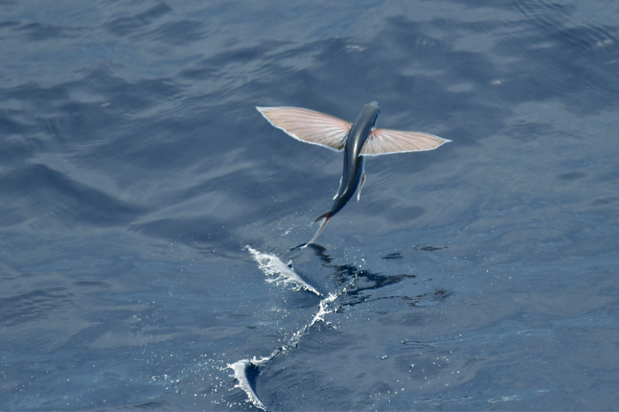 Електричеството помага на рибите да полетят