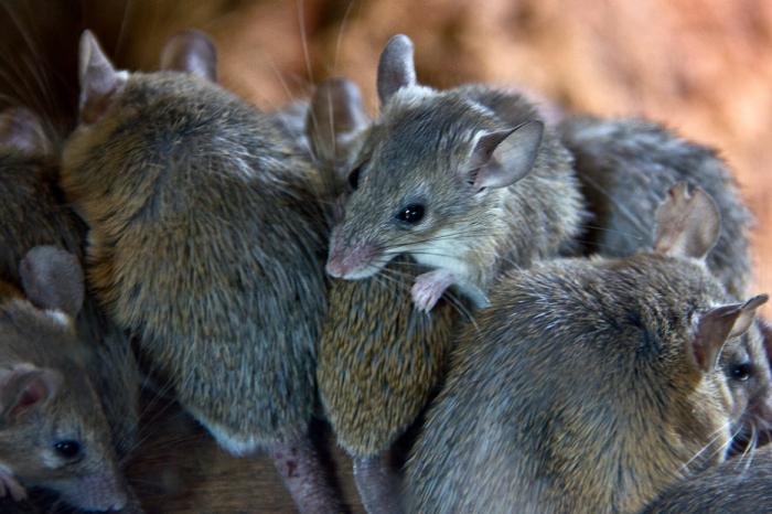 Нашествие на мишки опустошава Източна Австралия