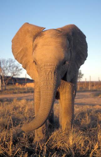 В Африка има два вида слонове, а не – само един