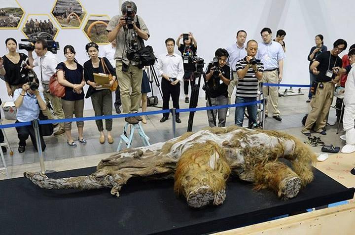 Сибирски мамут представен в Япония