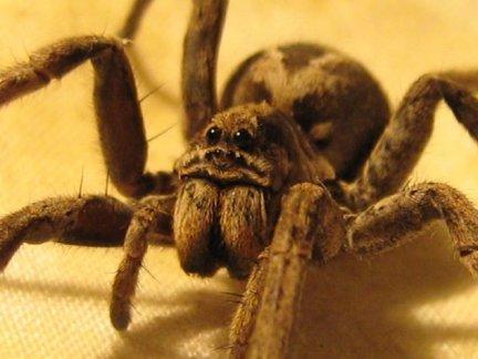 Вълчи паяк изяжда своята брачна партньорка