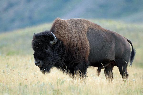За първи път от 100 години в Аляска отново има бизони в пустошта.
