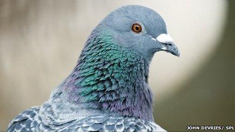 Тъмните пера гарантират по-добро здраве на гълъбите