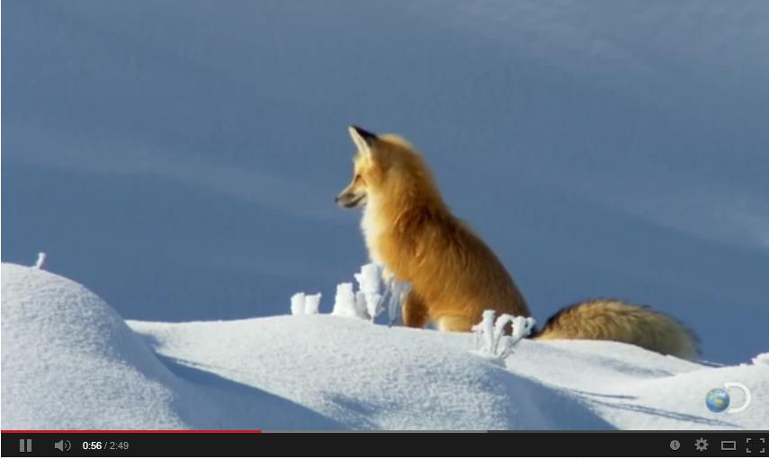 Лисицата