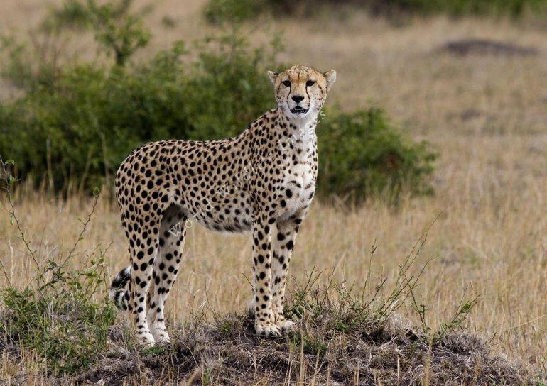 Гепардите са се превърнали в застрашен вид