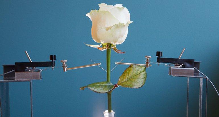 Електрифицирана роза