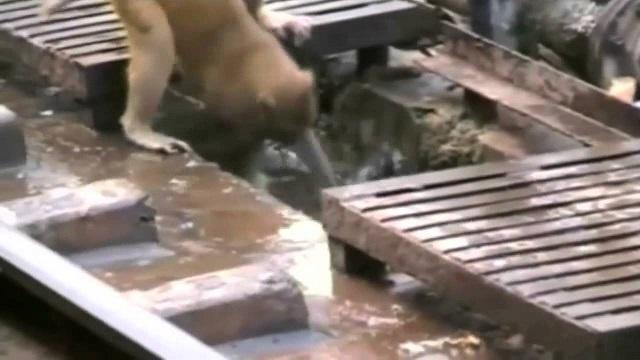 Маймуна спасява друга маймуна
