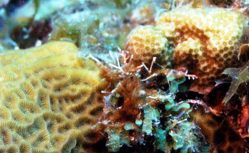 Малките корали понасят горещината